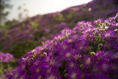 Planta de hielo púrpura Imagen de archivo
