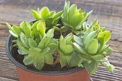Planta de Houseleek no fim do potenciômetro acima no fundo de madeira Foto de Stock