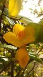 Planta de Integerrima del Ochna que florece en luz brillante de la salida del sol en Koh Samui Island, Tailandia Foto de archivo