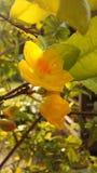 Planta de Integerrima del Ochna que florece en luz brillante de la salida del sol en Koh Samui Island, Tailandia Imagen de archivo