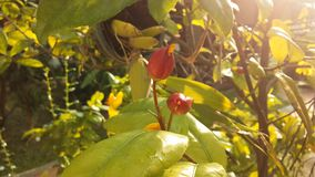 Planta de Integerrima del Ochna que florece en luz brillante de la salida del sol en Koh Samui Island, Tailandia Foto de archivo libre de regalías