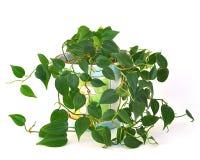 Planta de interior del Philodendron fotografía de archivo