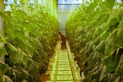 Planta de invernadero, escogiendo los pepinos imagen de archivo