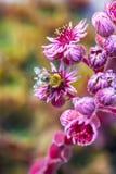 Planta de jardín decorativa una rosa de la piedra (Sempervivum) Imagen de archivo libre de regalías