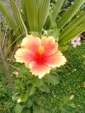 Planta de jardín del cayena de la flor Imagen de archivo libre de regalías