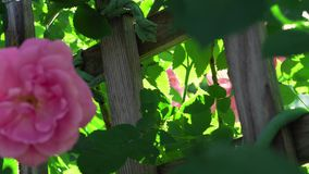 Planta de jardín delicada floreciente rosada increíble de la naturaleza del flor blando de la flor que se mueve en viento en 4k c metrajes