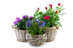 Planta de jardín en cesta de lámina fotos de archivo libres de regalías