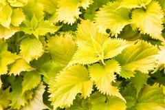Planta de jardín frondosa verde clara Fotos de archivo