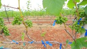 Planta de jardim da uva da vista aérea em Tailândia vídeos de arquivo