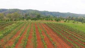 Planta de jardim da uva da vista aérea em Tailândia filme