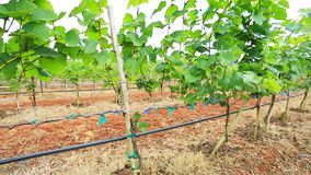 Planta de jardim da uva da vista aérea em Tailândia video estoque