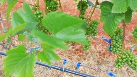 Planta de jardim da uva em Tailândia video estoque