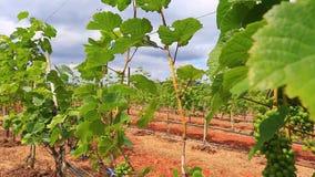 Planta de jardim da uva em Tailândia filme