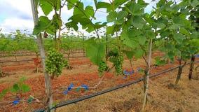 Planta de jardim da uva em Tailândia vídeos de arquivo