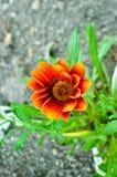 Planta de jardim do Gazania na flor Amarelo brilhante Foto de Stock