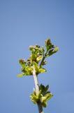 A planta de jardim ramifica os botões de folhas verdes na mola Fotografia de Stock