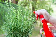 Planta de jardinagem dos alecrins Imagem de Stock Royalty Free