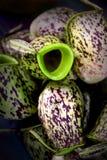 Planta de jarra Foto de archivo libre de regalías