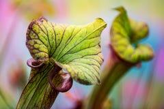 Planta de jarra americana, leucophylla del Sarracenia, carnívoro; cierre de la planta para arriba imagen de archivo