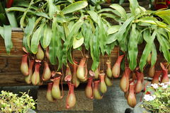 Planta de jarro Fotografia de Stock Royalty Free
