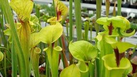 A planta de jarro amarelo, flava do Sarracenia, flores postas em perigo, estufa vídeos de arquivo