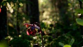 Planta de jarro do purpurea roxo da planta, do Sarracenia de jarro aka, peúgas do turle ou flor do norte da lado-sela filme