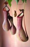 Planta de jarro ou copo do macaco Fotografia de Stock