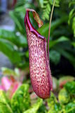 Planta de jarro tropical Imagens de Stock