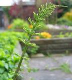 Planta de jovens do arvense do equiseto do Horsetail fotografia de stock