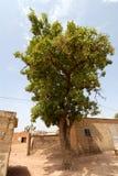 Planta de Karitè Imagem de Stock