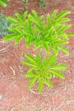 Planta de Konjak, doce do elefante Foto de Stock Royalty Free