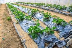 Planta de la agricultura de la fresa Imagenes de archivo