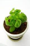 Planta de la albahaca fotografía de archivo