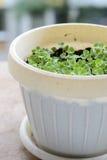 Planta de la albahaca del bebé Foto de archivo libre de regalías