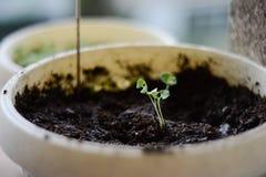 Planta de la albahaca del bebé Fotos de archivo