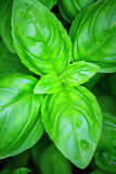 Planta de la albahaca dulce Imagen de archivo libre de regalías