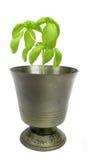 Planta de la albahaca en cubilete del metal Fotos de archivo