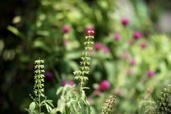 Planta de la albahaca en jardín Imagen de archivo