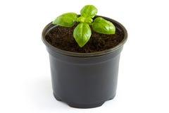 Planta de la albahaca en un pote Fotografía de archivo