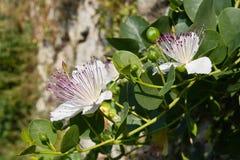 Planta de la alcaparra en la floración Fotografía de archivo