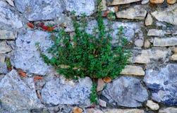 Planta de la alcaparra en la pared de piedra Imagenes de archivo