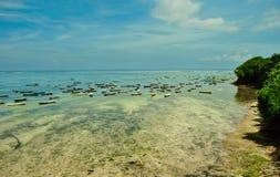 Planta de la alga marina durante la bajamar en la isla de Nusa Lembongan Fotos de archivo libres de regalías