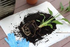 Planta de la ave del paraíso con las raíces expuestas Imágenes de archivo libres de regalías