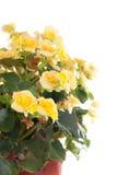 Planta de la begonia Imagen de archivo