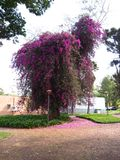 Planta de la buganvilla Fotos de archivo libres de regalías