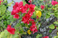 Planta de la buganvilla con las flores rojo-rosadas fotos de archivo