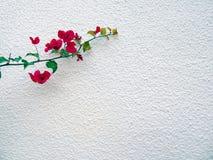 Planta de la buganvilla en el fondo de la pared blanca imagenes de archivo