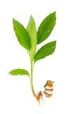 Planta de la cúrcuma en blanco Imagen de archivo libre de regalías