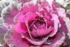 Planta de la col rizada Fotos de archivo