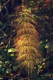 Planta de la cola de caballo Fotos de archivo